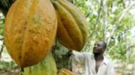 agriculture le cacao ivoirien a mal a la cabosse. Black Bedroom Furniture Sets. Home Design Ideas